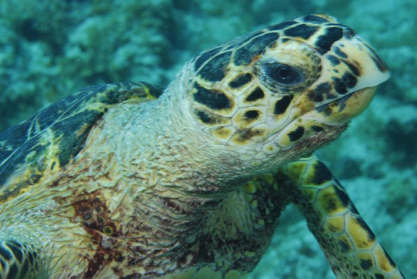 Hawksbill Turtle  <i>Eretmochelys imbriocota</i>
