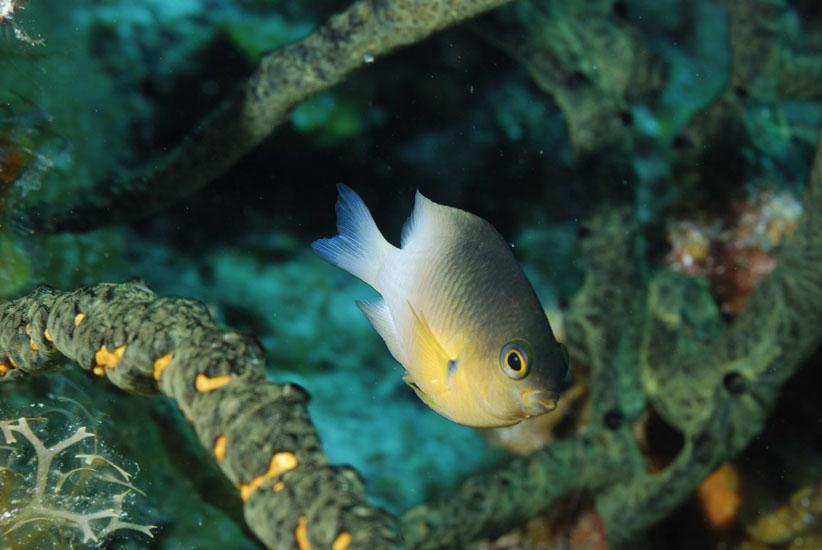 Beaugregory Damselfish  <i>Stegastes leucostictus</i>