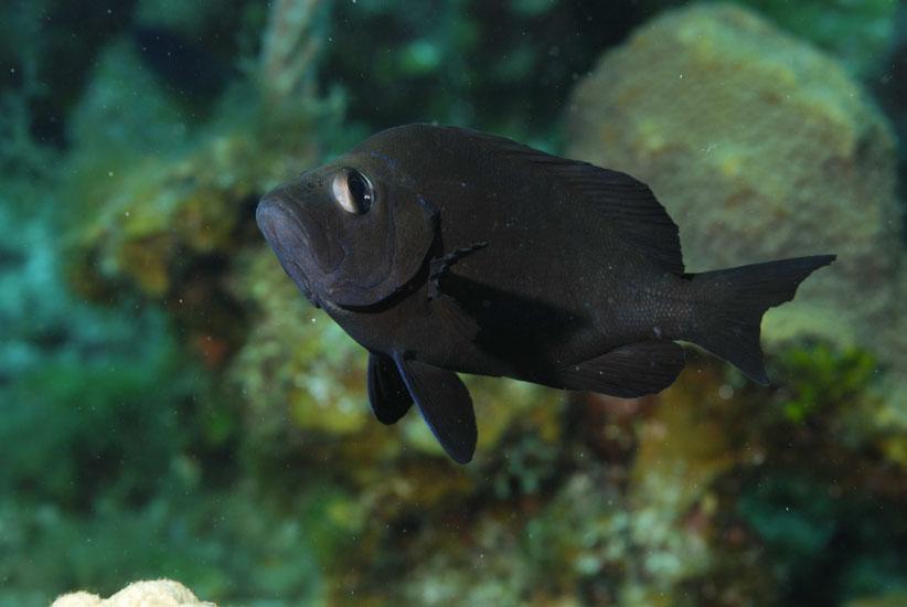 Adult Beaugregory Damselfish  <i>Stegastes lecostictus</i>