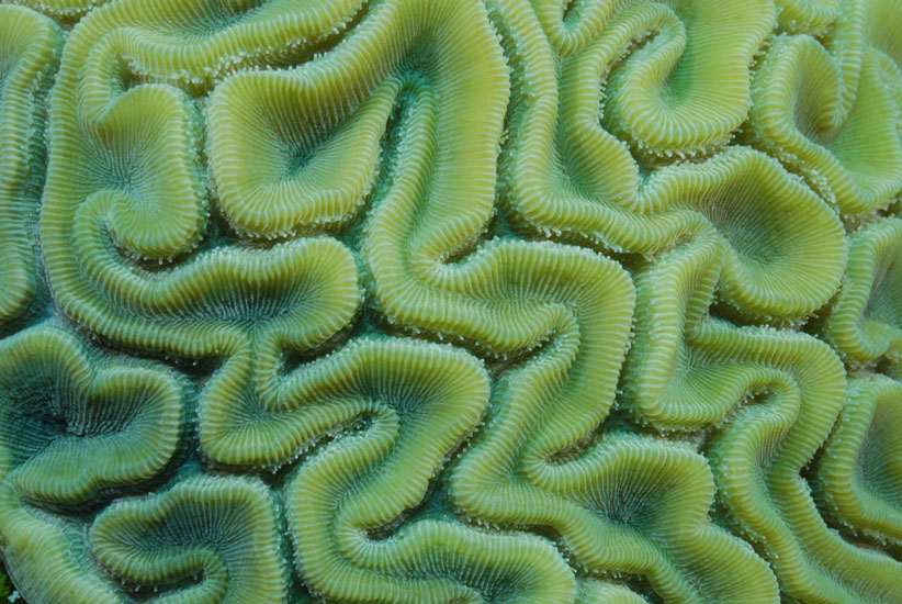 Grooved Brain Coral,  <i>Diploria labrynthiformis