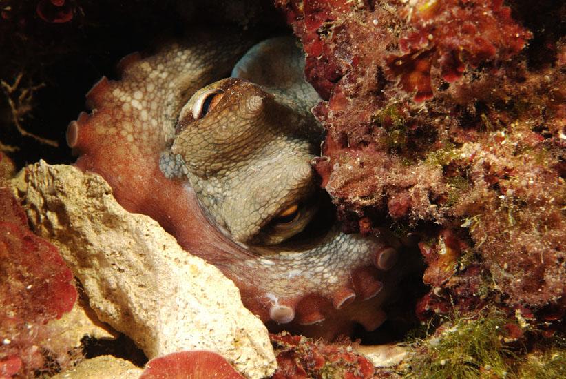 Common Octopus  <i>Octopus vulgaris</i>