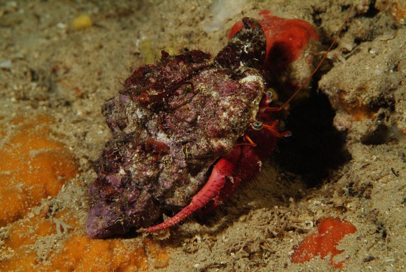 Red Hermit Crab  <i>Dardanus calidus</i>