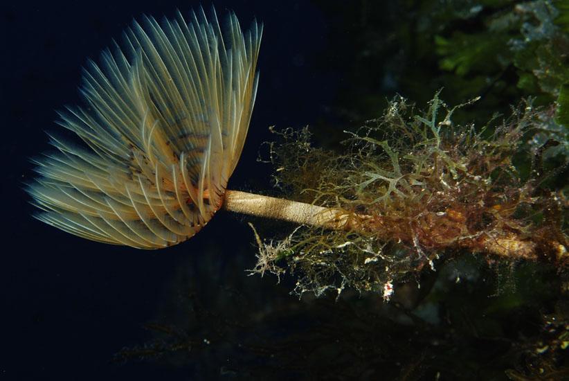 Spiral Tube Worm  <i>Spirographis spallanzani</i>