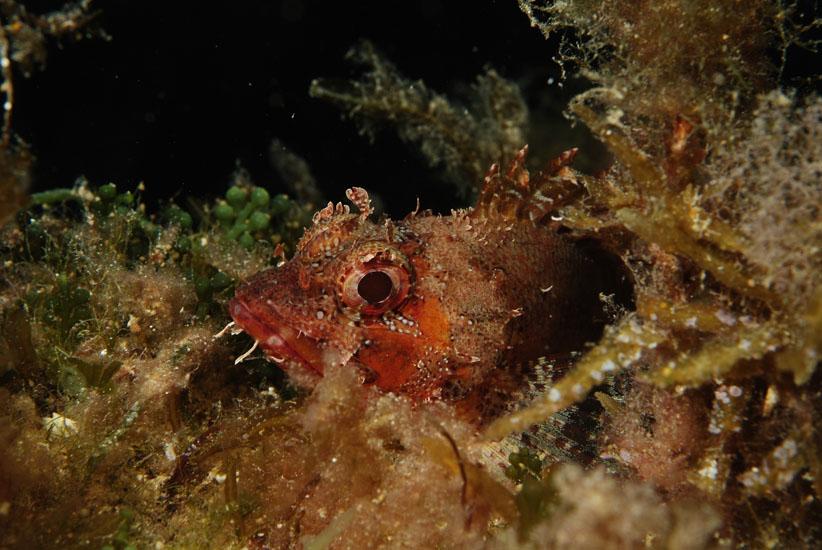 Small Rockfish  <i>Scorpaena notata</i>