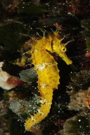 Long-snout Sea Horse  <i>Hippocampus ramulosus</i>