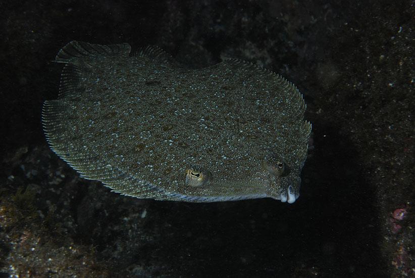 Juvenile Turbot  <em>Scophthalmus maximus</em>