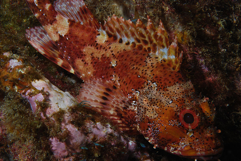 Madeira rockfish  <em>Scorpaena maderensis</em>
