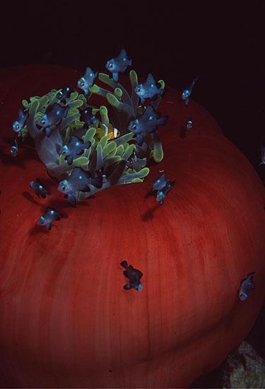Magnificent Anemone with Red Sea Anemonefish  <i>Heteractis magnifica & Amphiprion bicinctus</i>