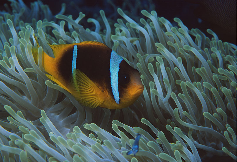 Red Sea Anemonefish  <i>Amphiprion bicinctus</i>