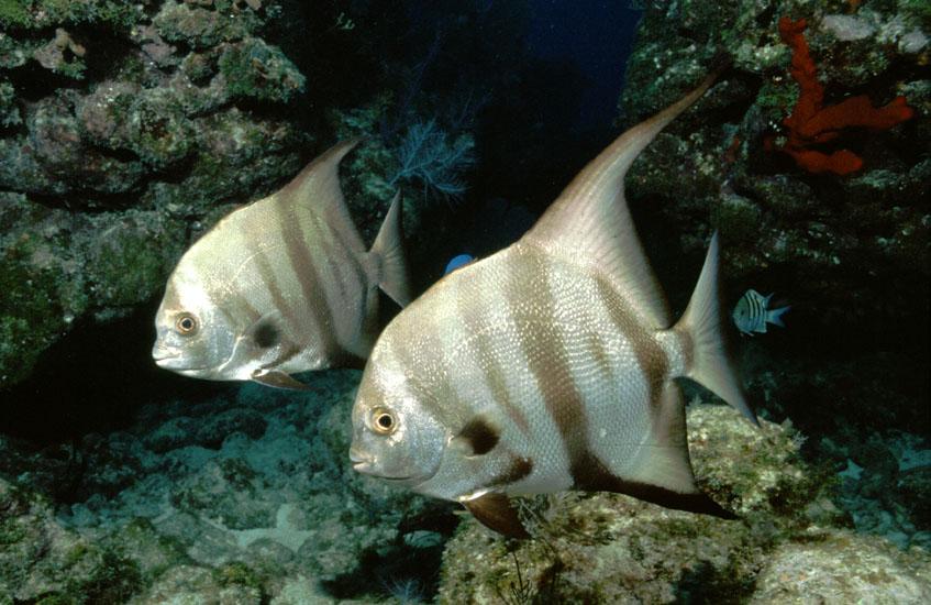 Atlantic Spadefish  <i>Chaetodipterus faber</i>