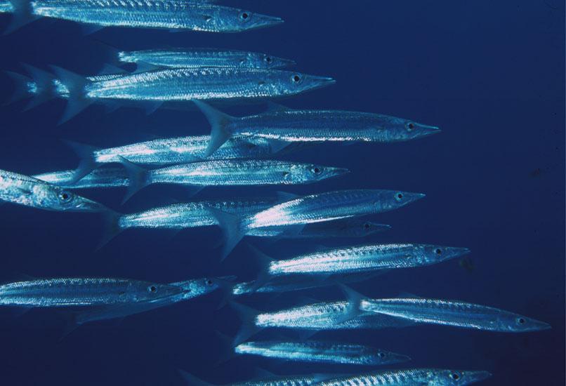 Blackfin Barracuda  <i>Sphyraena qenie</i>