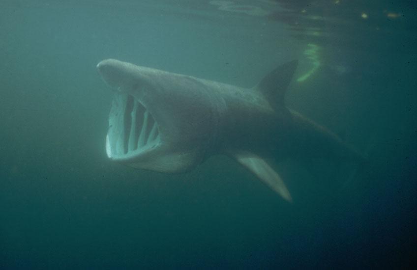 Basking Shark  <i>Cetorhinus maximus</i>