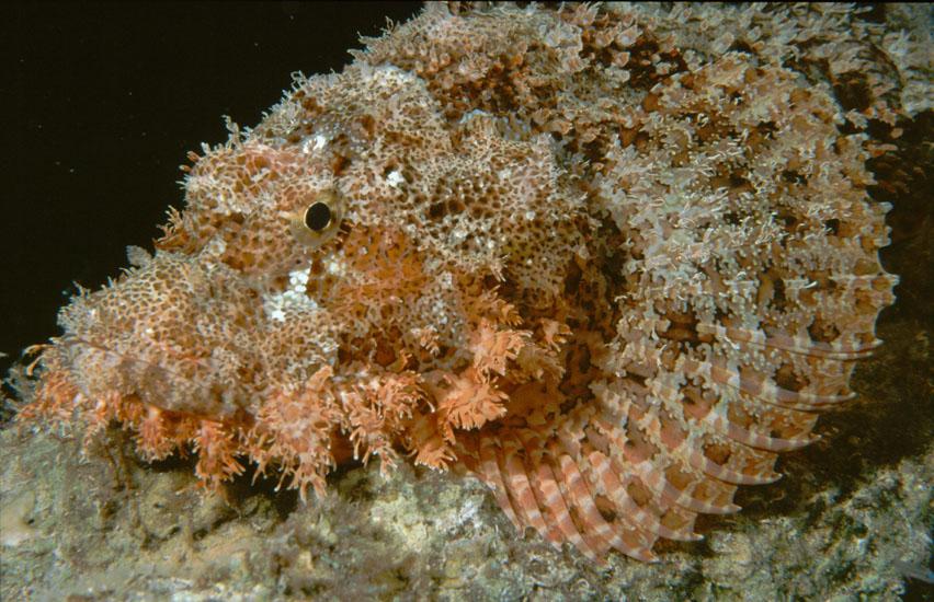 Bearded Scorpionfish  <i>Scorpaenopsis barbata</i>