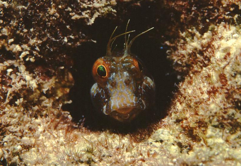 Sailfin Blenny  <i>Emblemaria pandionis</i>