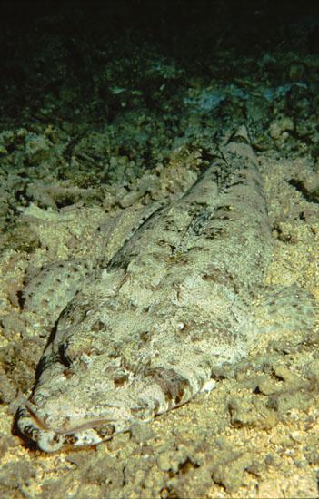 Crocodile Fish  <i>Papilloculiceps longiceps</i>