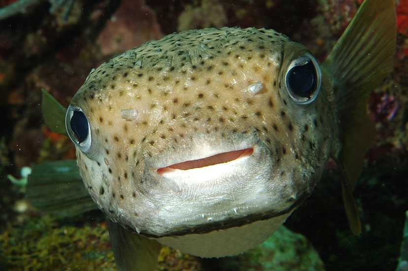 Porcupine Fish  <i>Diodon histrix</i>