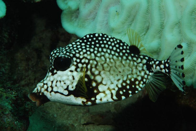 Smooth Trunkfish  <i>Lactophrys bicaudalis</i>