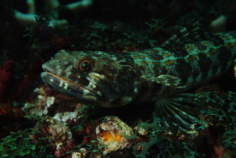 Lizardfish  <i>Synodus intermedius</i>
