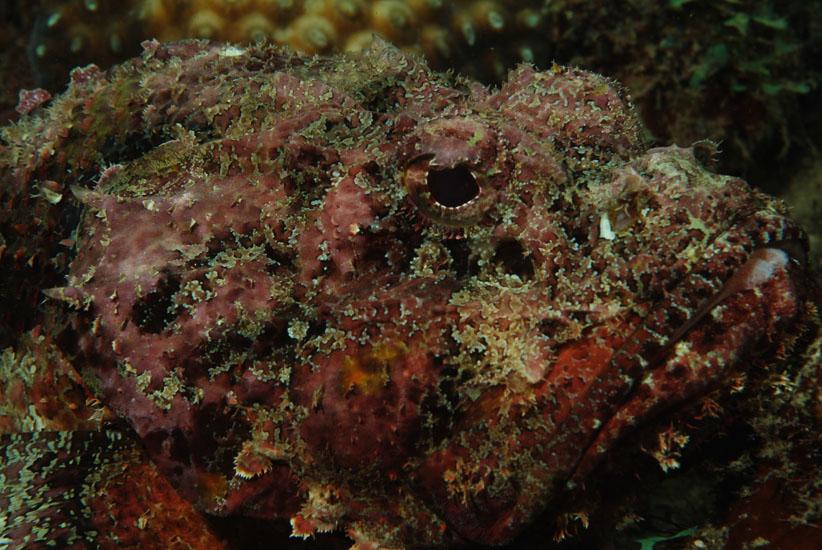 Plumed Scorpionfish  <i>Scorpaena grandicornis</i>