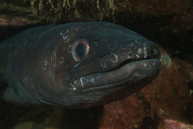 Conger Eel  <i>Conger conger</i>