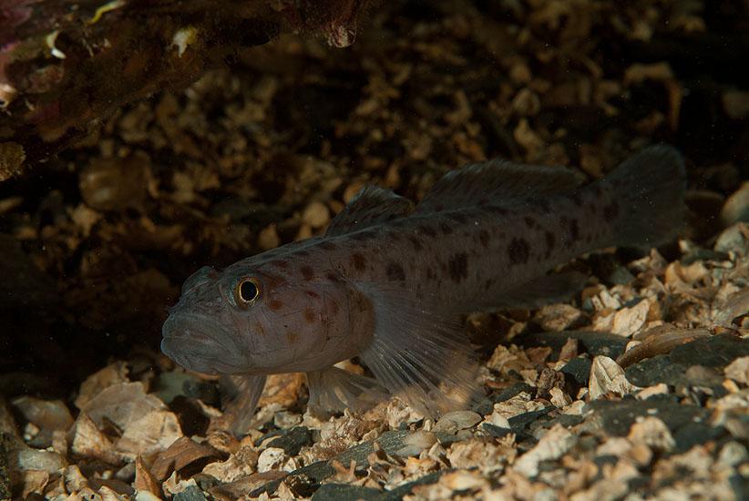 Leopard Spotted Goby  <i>Thorogobius ephippiatus</i>