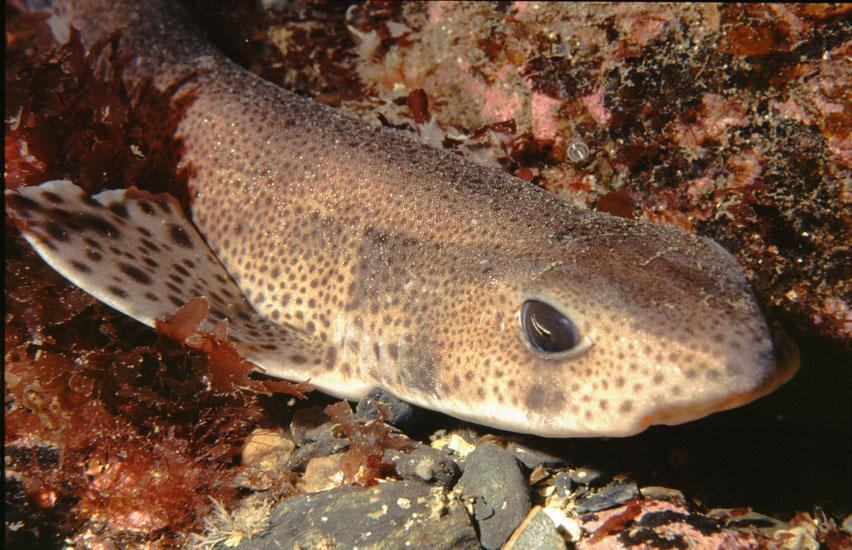 Lesser spotted Dogfish  <i>Scyliorhinus canicula</i>