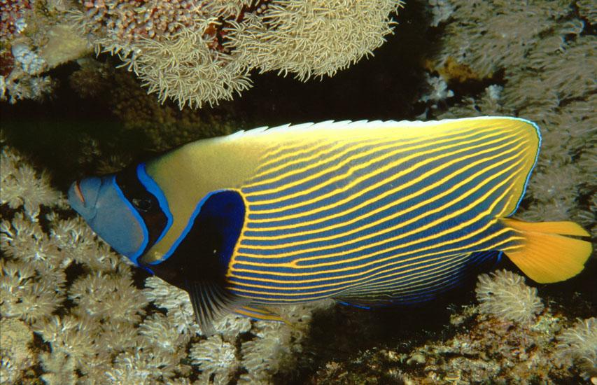 Emperor Angelfish  <i>Pomacanthus imperator</i>