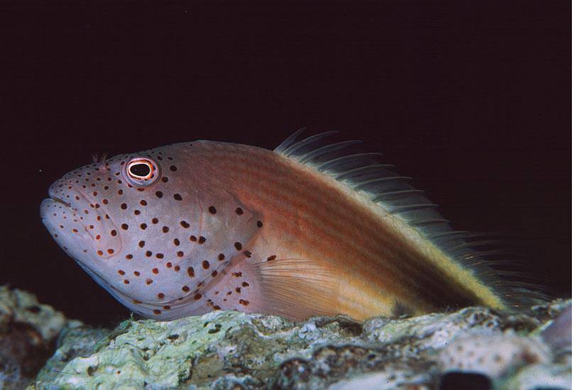 Forster's Hawkfish  <i>Paracirrhites forsteri</i>