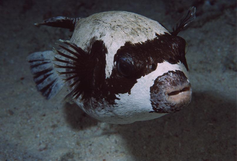 Masked Pufferfish  <i>Arothron diadematus</i>