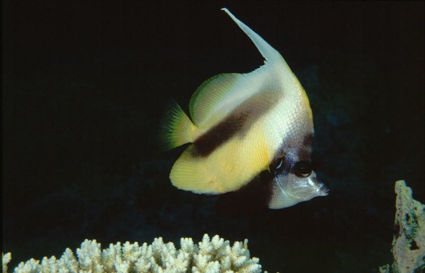 Red Sea Bannerfish  <i>Heniochus intermedius</i>