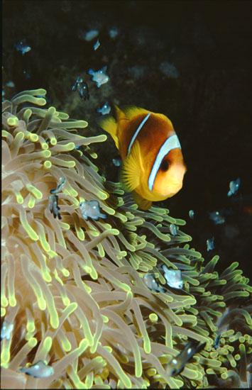 Red Sea Anemone Fish in Magnificent Anemone  <i>Amphiprion bicinctus & Heteractis magnifica</i>
