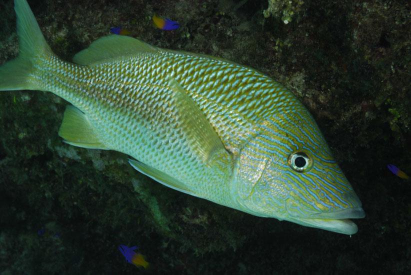 French Grunt  <i>Haemulon flovolineatum</i>