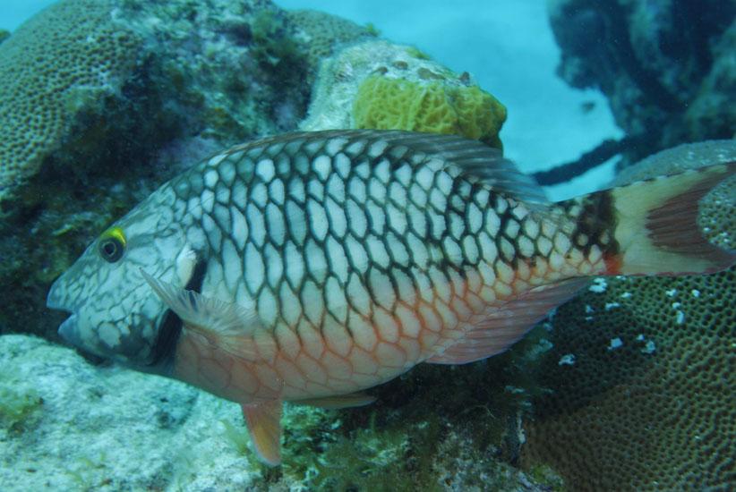 Juvenile Stoplight Parrotfish  <i>Sparisoma viride</i>
