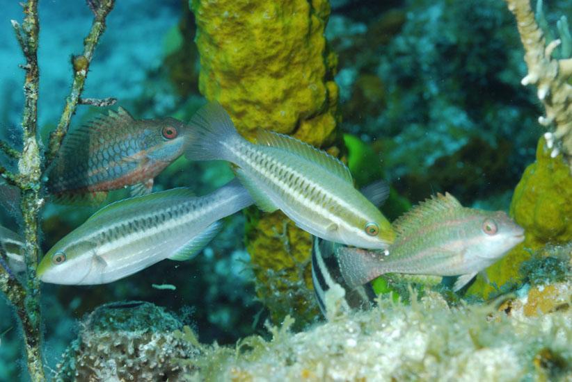 Juvenile Parrotfish  <i>Scaridae</i>