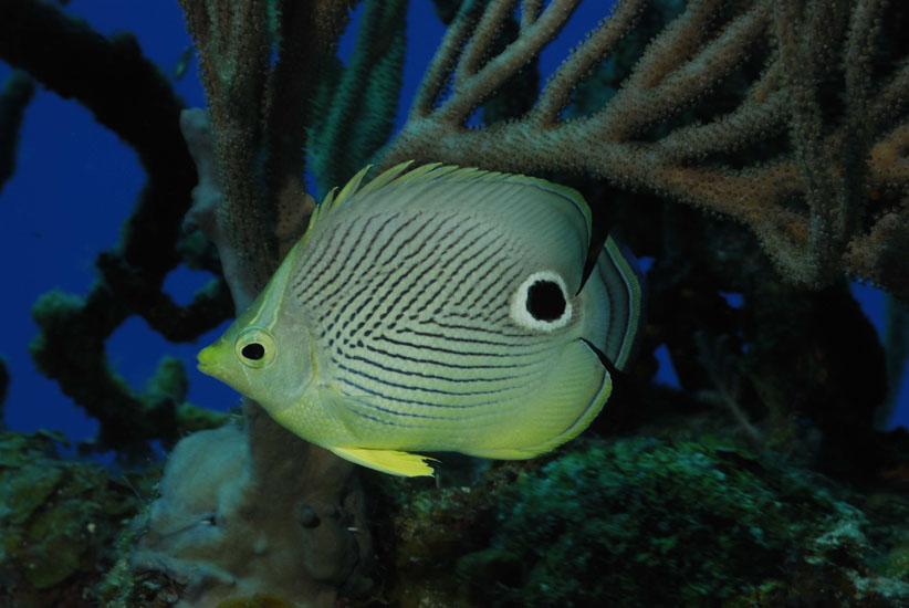Foureye Butterflyfish  <i>Chaetodon capistratus</i>