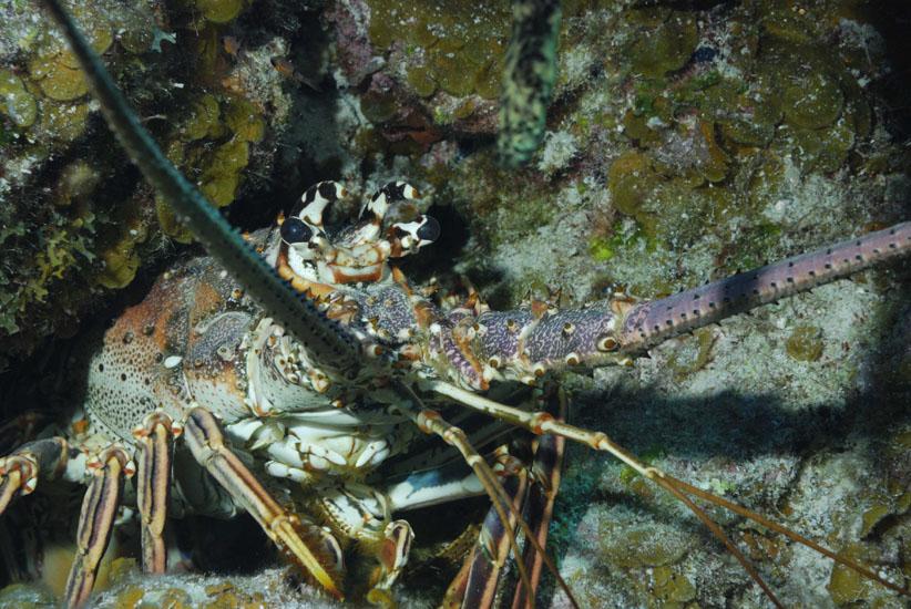 Caribbean Spiny Lobster  <i>Panulirus argus</>