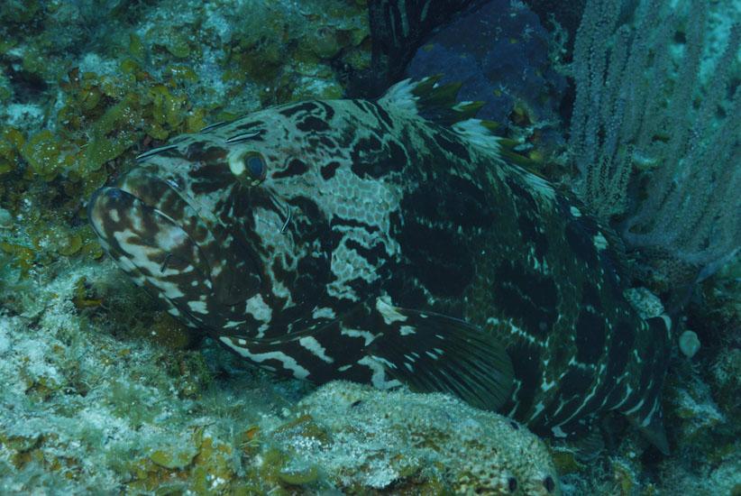 Goliath Grouper  <i>Epinephelus itajara</i>