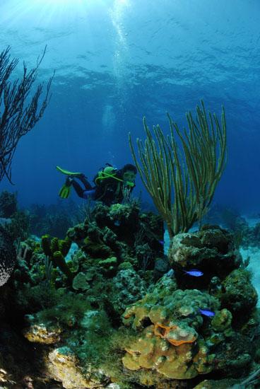 Sea Plume  <i>Pseudopterogorgia spp.</i>