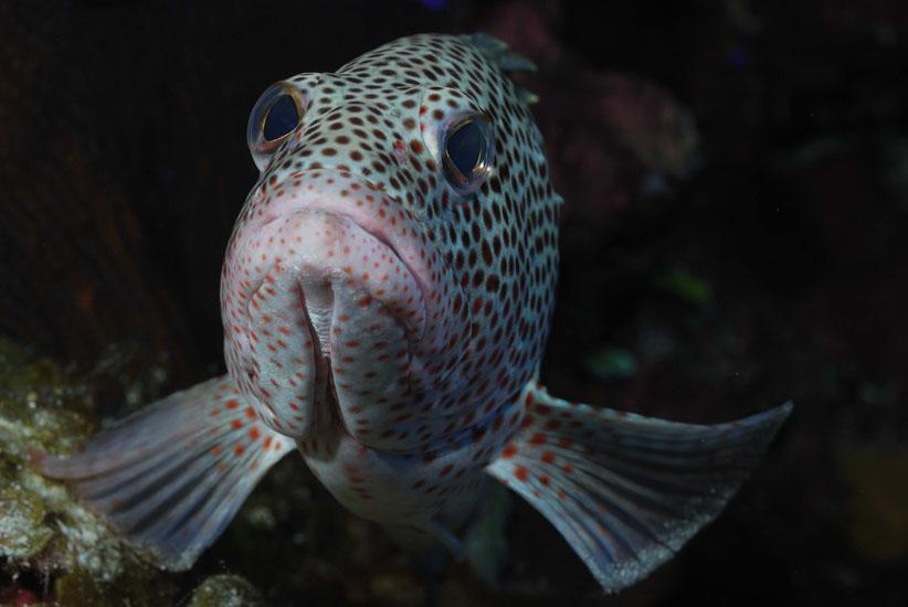 Red Hind Grouper <i>Epinephelus guttatus</i>