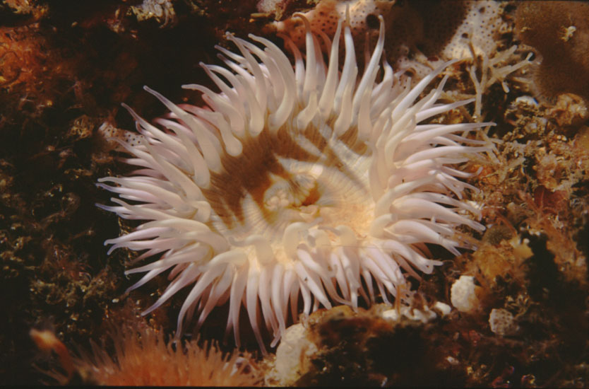 Anemone  <i>Sagartia elegans</i>