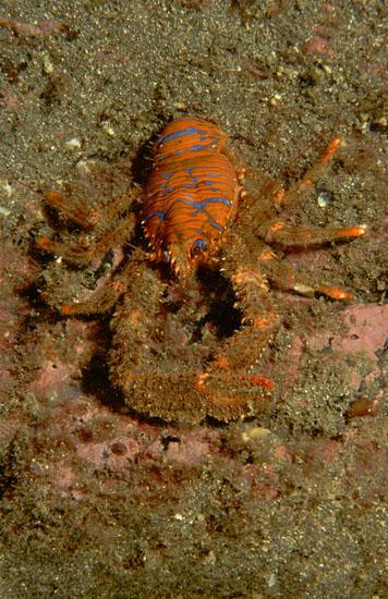 Spiny Squat-lobster  <i>Galathea strigosa</i>