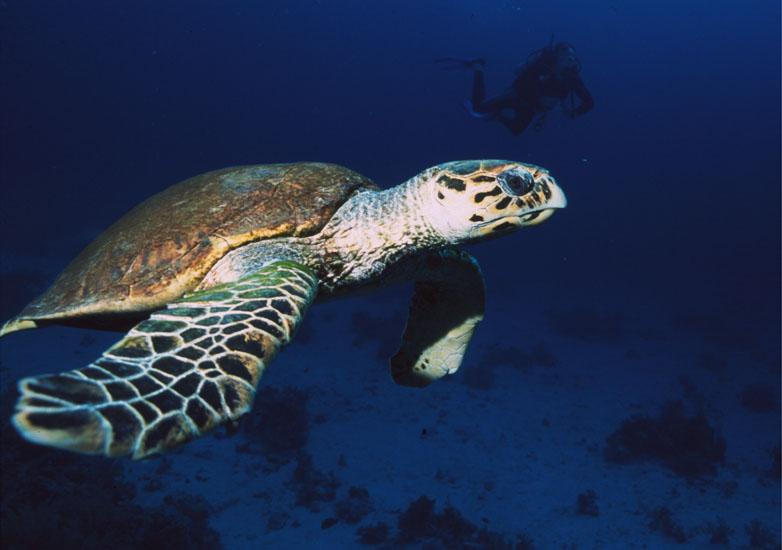 Green Sea Turtle  <i>Chelonia mydas</i>