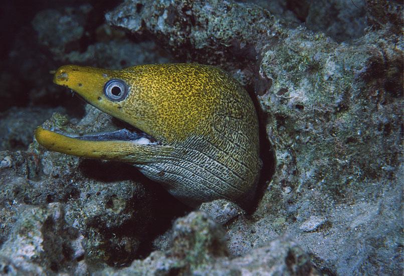 Undulate Moray  <i>Gymnothorax undulatus</i>