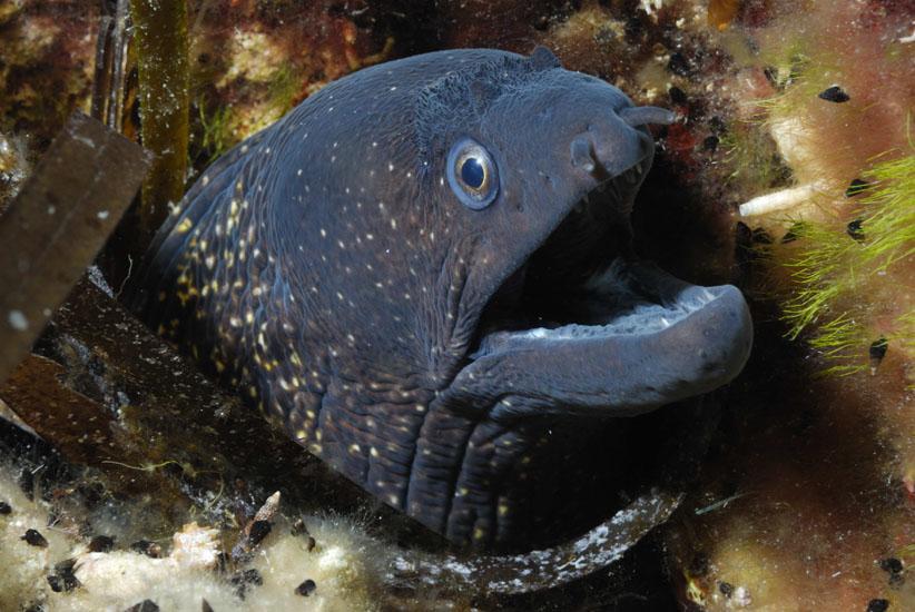 Moray Eel  <i>Muraena helena</i>