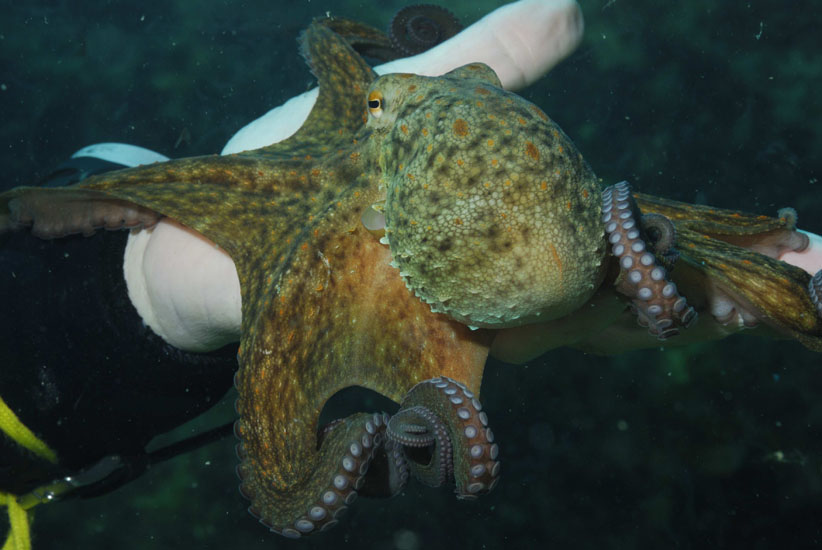 Common Octopus  <i>Octopus vulgaris</>