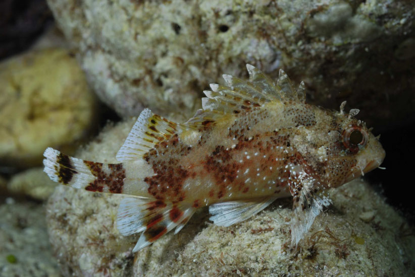 Small Rockfish