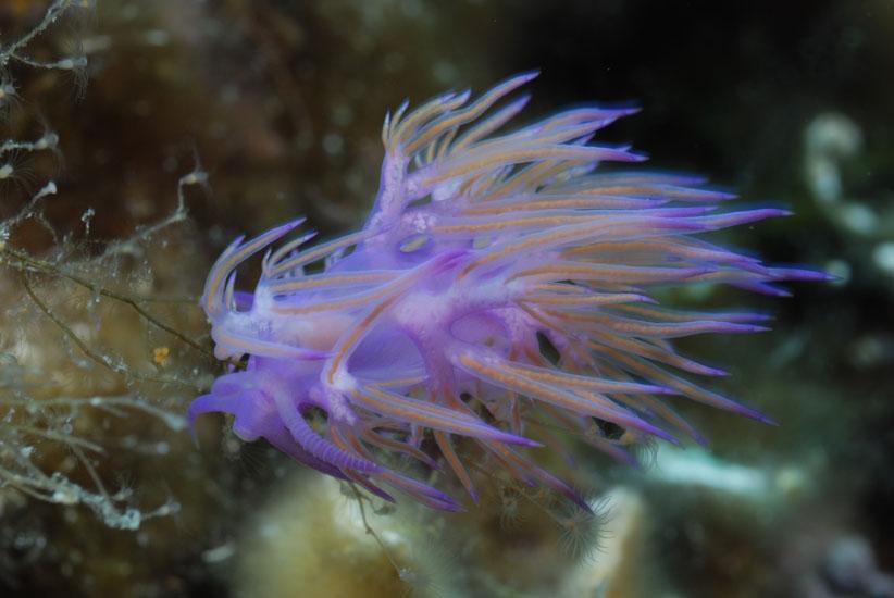 Purple Nudibranch  <i>Flabellina affinis</i>