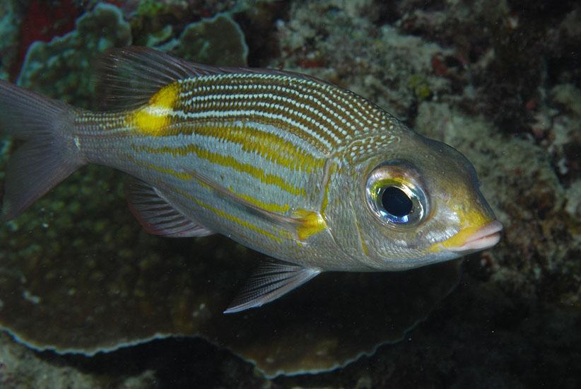 Gold-spot Emperor  <i>Gnathodentex aurolineatus</i>