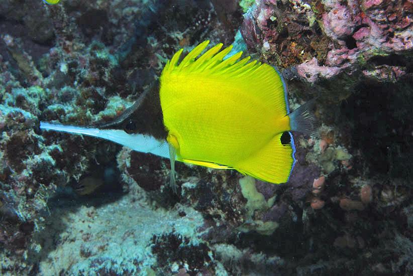 Long-nose Butterflyfish  <i>Forcipiger flavissimus</i>