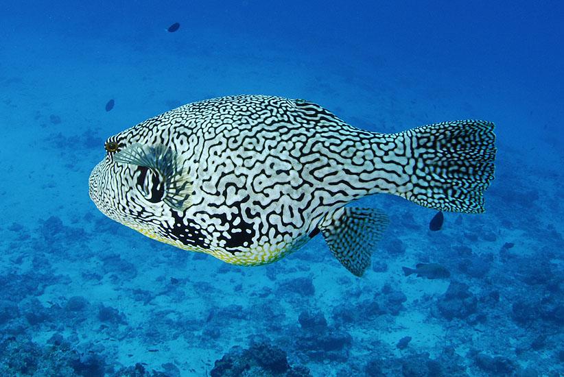 Scribbled Pufferfish  <i>Arothron mappa</i>